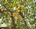 寧陵酥梨:每一個梨,都經得起市場的檢驗!
