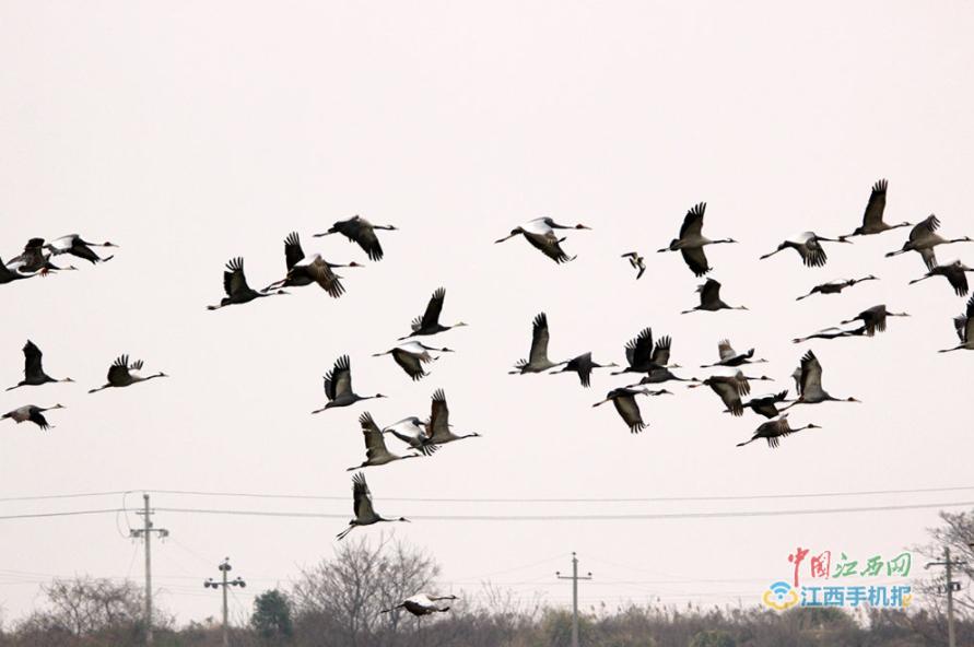 鹤群在鄱阳湖畔上空飞翔,展翅起舞,姿态万千.