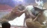 马戏团排练惨出意外 狮子老虎围攻撕咬白马