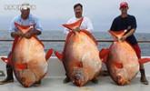 渔民捕获200多斤月亮鱼 网上拍卖16次拱手相让