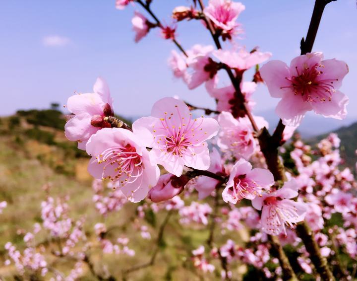 种下桃树引客来