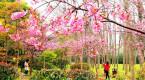 上海樱花节即将揭幕(图)