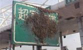"""蜜蜂""""霸占""""高速收费站 司机和收费员不敢开窗"""