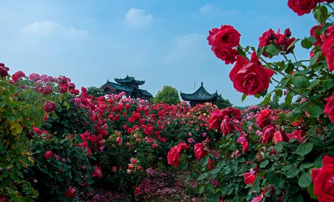 万亩月季齐绽放 花团锦簇南阳城