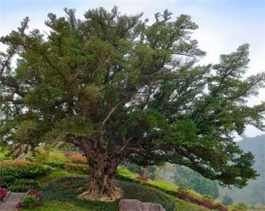 """浙江6株古树上榜""""中国最美"""" 最大树龄超过1500年"""