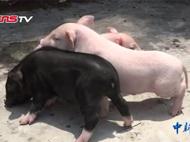 """世界首例""""会跳舞""""小猪 为治疗疾病提供研究样本"""