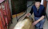 黑龙江渔民打上半吨重大鳇鱼 卖了28万元