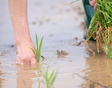 青岛海水稻试验田插秧 助力青岛国际院士港成果转化