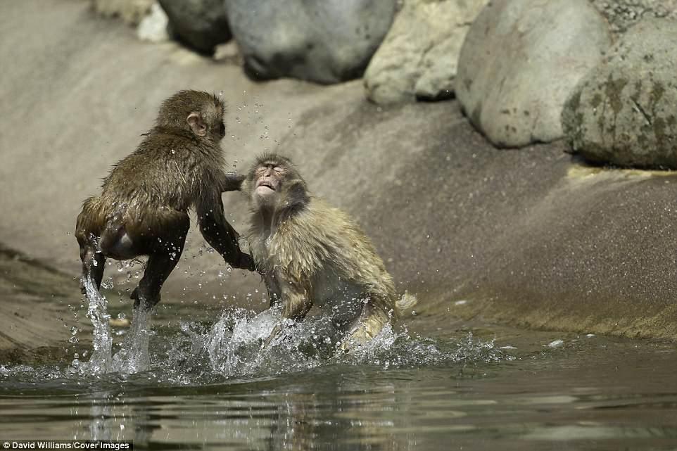 日本动物园猕猴打架画面