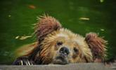 天津持续高温 动物水中消暑