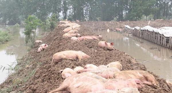 安徽养猪场被冲垮 部分猪被人捞走