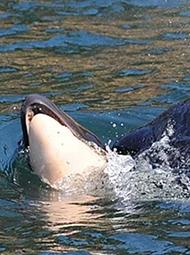 鲸鱼托着死去的儿子游了7天