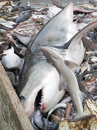 大白鲨被钓