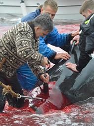 被鲸鱼血染红的海岸