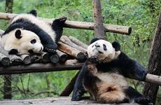"""""""金丝大熊猫""""秦岭独有 正加快筹建大熊猫网上澳门赌博平台送彩金公园"""