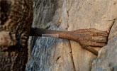 3000多年菩提树长出