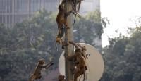 5000只猴子横行印度街头 抢食物、手机还闯入总统府撕毁公文