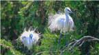 大批鹭鸟飞?#21482;?#23433;安家 为春日绿林增添生机
