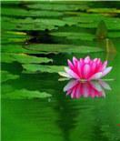"""睡莲花开,""""水中女神""""美到可以做屏保"""