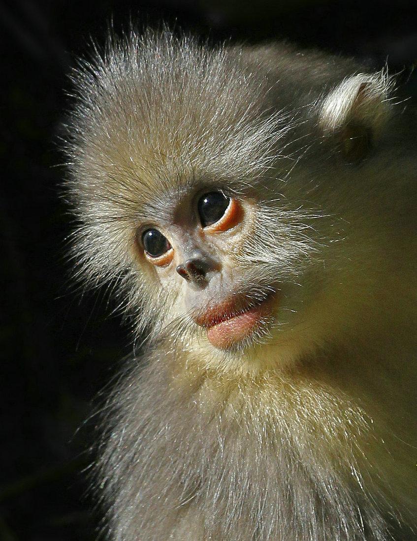 我国为独有濒危物种滇金丝猴建立全境保护网络