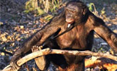 大猩猩生火做饭吃烧烤,手法如此娴熟,让人都看傻眼了