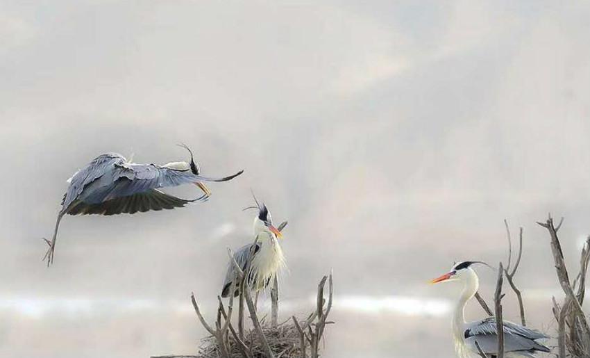 蒼鷺棲息青海黃河岸畔