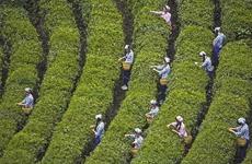 青青茶 袅袅舞——紫阳富硒茶产业创新转型升级发展调查