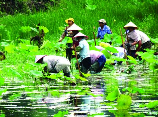 7月7日黟县西递村村民正在清除荷塘里