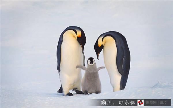帝企鹅一家