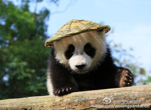 背上背篓,戴上草帽,再加上逼真的表情,像极了《功夫熊猫》的主角阿宝.