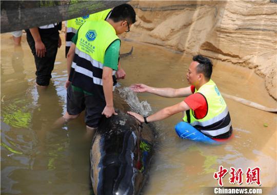 救护专家人员为鲸鱼泼水维持体表温度。 陈思国摄