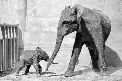动物园非洲象宝宝满月了