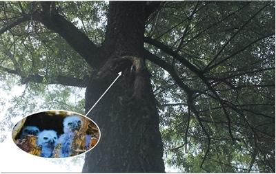 颐和园一窝鹰鸮失踪 森林公安介入(图)