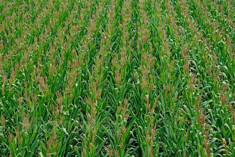 300多株玉米被砍断 真相竟是一个令人悲伤的故事