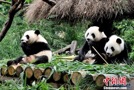 广州长隆诞生的全球唯一大熊猫三胞胎将满两周岁之时,在7月14日再次迎来重要生命节点:三个小家伙顺利度过食物转化阶段,具备独立生活能力。 王华 摄 中新网广州7月14日电(王华 刘可)广州长隆诞生的全球唯一大熊猫三胞胎将满两周岁之时,在7月14日再次迎来重要生命节点:三个小家伙顺利度过食物转化阶段,具备独立生活能力。 长隆大熊猫三胞胎2014年7月29日凌晨诞生以来,一直在创造生命奇迹,相继经历满月、开眼、百日、学会走路、一母带三仔等节点,不断改写世界大熊猫繁育史。 三个小家伙从以母乳、人工乳为主食,成