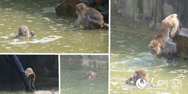 猴子在游泳 人民网合肥7月23日电(陈曦) 炎炎夏季,烈日下的动物们防暑各有招。虽然还未到最热的三伏天,但是动物们已经酷热难耐,大熊猫早早住进了空调房、河马整日泡在水里冲凉、猴子游泳好不自在、大象与饲养员戏水玩耍。还有其他来自非洲产地的动物,也安静地卧在树荫下,一动不动。 据工作人员介绍,尽管园内的很多动物产地来自非洲,但动物园内的空气流通等因素远不及空旷的非洲大草原,所以这些动物在度夏时节也是懒洋洋的姿态。