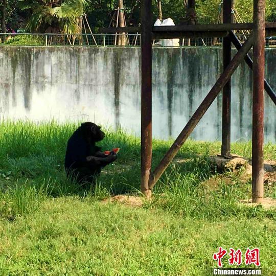 28日合肥野生动物园内一只黑猩猩为降暑吃西瓜. 张强 摄