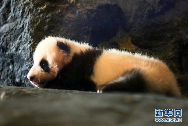 这是8月8日在比利时布吕热莱特的天堂动物园拍摄的已经出生两个多月的大熊猫宝宝。从8月6日开始,已经出生两个多月的大熊猫宝宝在比利时天堂动物园正式亮相,吸引了数以万计的游客。6月1日,6岁的中国大熊猫好好在比利时产下一只雄性幼崽,这是首只在比利时出生的大熊猫。作为中比两国的友好使者,中国大熊猫星徽和好好于2014年2月入住天堂动物园,将在这里生活15年。新华社记者龚兵摄 感谢您阅读: 比利时出生的大熊猫宝宝亮相动物园
