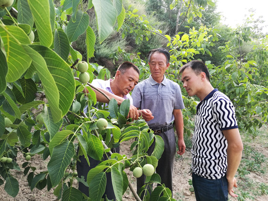 中阳县种植户看长势不错的核桃(图片来源:山西省林业厅)