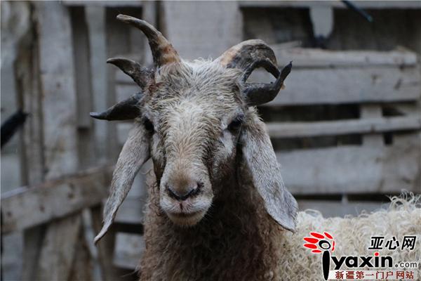 新疆博湖县一只半岁公绵羊长出五只犄角