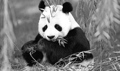 """濒危物种红色名录""""划掉""""大熊猫"""