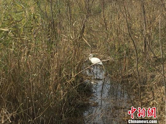 放归大自然后的白琵鹭走进芦苇丛深处 张帆 摄