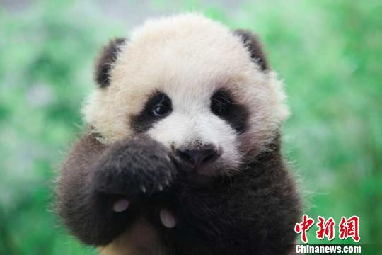 上午九点,上海野生动物园的工作人员将花生抱进了育婴室,进行百日体检。 倪丽 摄 中国大熊猫保护研究中心上海基地诞生的首只大熊猫宝宝百日 从趴趴熊到爬爬熊 中新网上海10月17日电 (陈静倪丽)17日,备受关注的熊猫花生出生满百天啦。小家伙的体重已经增至5440克,体长增至64厘米。虽然还是个吃奶娃娃,但是花生已经长出了牙齿。 上海野生动物园分方面当日透露,自中秋节正式与游客见面以来,来看她的游客是络绎不绝。 当日上午九点,上海野生动物园的工作人员趁帼帼妈妈去隔壁喝水的时间,将花生抱进了育婴室,