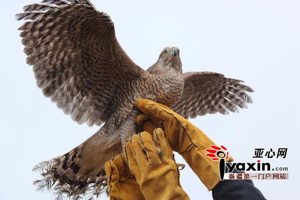 """五只国家二级保护动物苍鹰成功""""放生""""喀拉峻景区"""