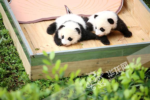 肉嘟嘟毛茸茸的双胞胎熊猫宝宝,是不是萌化了?记者 李裕锟 摄 今日上午,重庆动物园熊猫馆内里外三层外三层围满了游客,他们此行的目的只有一个,来看刚满百天的熊 猫双胞胎大双和小双。十点过,两个小家伙在工作人员的陪伴下吃奶、戴皇冠和大家见面,更是引来游客们争 先恐后照相留念。 从今日开始,这对幼崽就将正式与游客见面,大家可以在9:0010:00、13:0014:00到熊猫育幼室,一睹双胞胎宝宝的呆萌憨态。如果天气好,工作人员还会将熊猫宝宝抱到运动场晒太阳。 据工作人员介绍,2016年7月11日兰香顺利