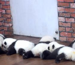 """""""走进成都""""熊猫幼儿园"""" 23只熊猫幼崽满地爬"""