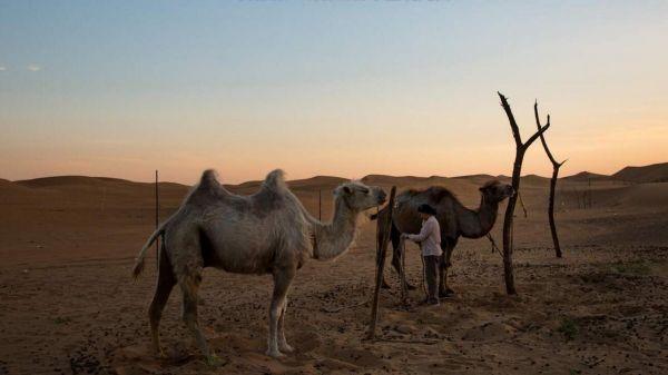 """许多居民在腾格里沙漠的边缘放牧牲畜,或者经营小型观光园。但官员称,和气候变化一样,过度放牧也是导致沙漠不断扩大的一个因素。(美国《纽约时报》网站) 原标题:美媒关注中国北方沙漠扩大:40年间多出个""""克罗地亚"""" 核心提示:沙漠构成了中国将近20%的国土,中国北方的干旱愈演愈烈。一项最近进行的评估显示,中国的沙漠面积比1975年时扩大了约5万多平方公里——约等于克罗地亚的面积。 参考消息网10月30日报道 美媒称,腾格里沙漠位于广袤戈壁滩的南缘,与一些大城市相"""