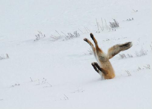 6年 最搞笑 动物 狐狸无奈 插 雪地