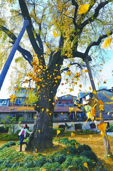 网红 汉阳树