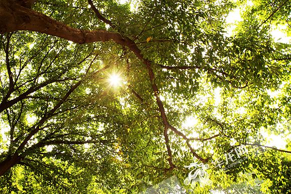 午间阳光洒进树梢.记者 李裕锟 摄
